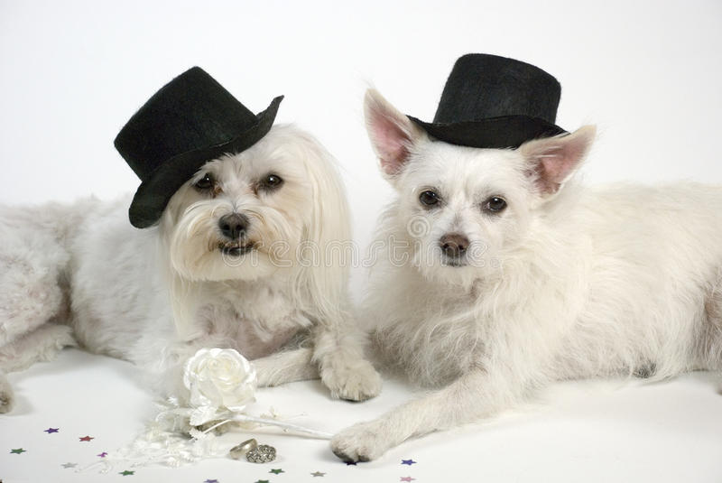 Wedding Dogs. Adorable dogs, wearing top hats, hold paws, pose next to white rose, wedding rings. Studio shot. Wedding concept royalty free stock photo