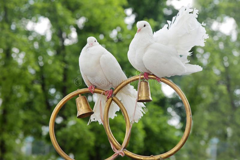 Wedding doves sit on gold rings royalty free stock photos