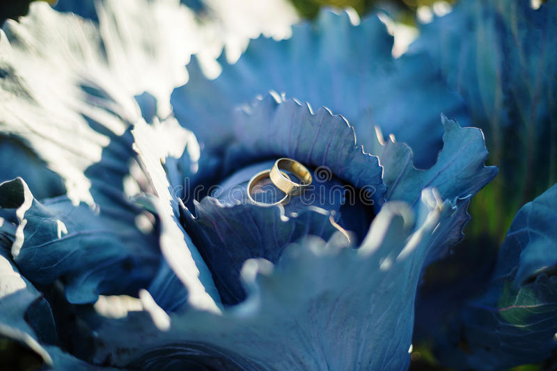 Wedding rings on blue cabbage royalty free stock image