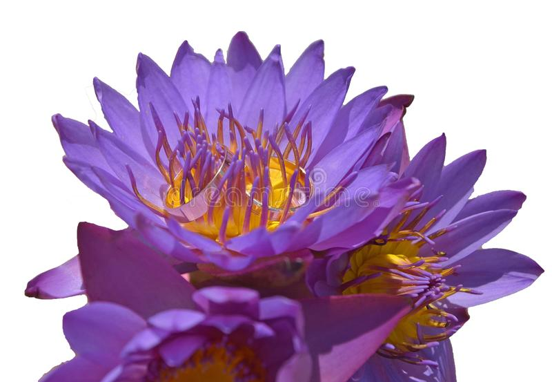 Wedding rings in a bouquet of purple lotus buds on a white background, isolated. stock images
