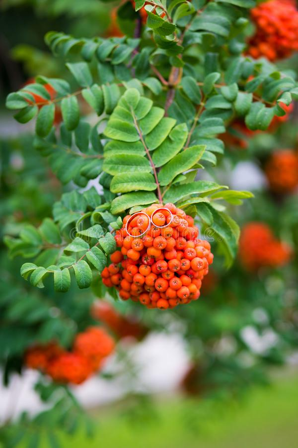 Wedding rings on bunch of orange berries of mountain ash with the background of the green rowan leaves royalty free stock photography
