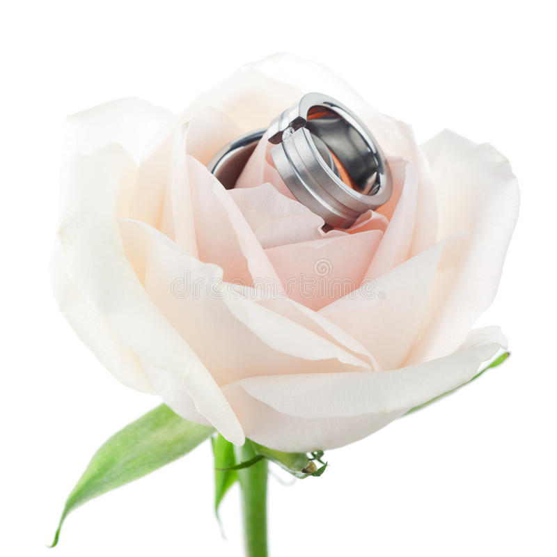 Download Wedding rings in a rose stock image. Image of isolated - 15221617