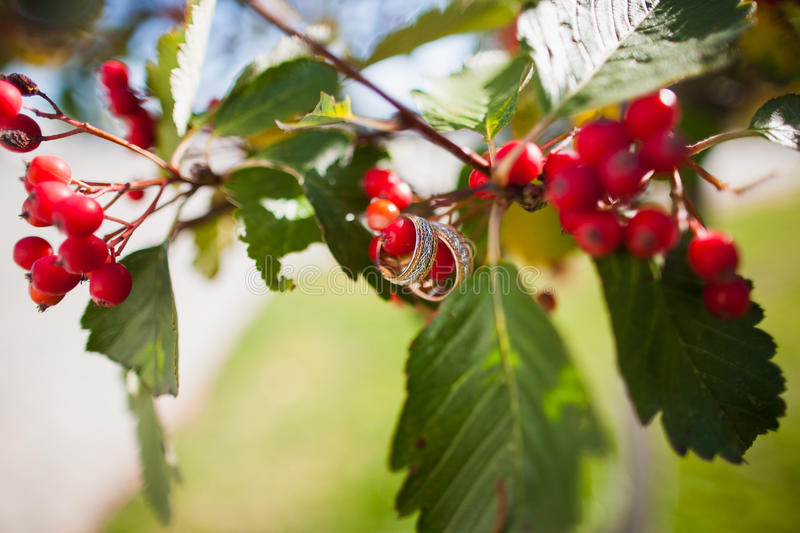 Wedding rings on the a tree blooming with Rowan berries. In the fall. Selective focus royalty free stock photos