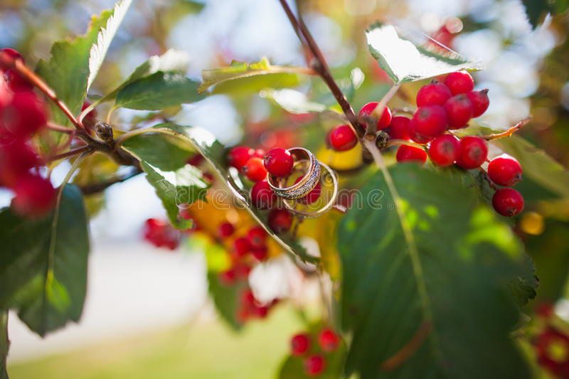 Wedding rings on the a tree blooming with Rowan berries. In the fall. Selective focus stock images