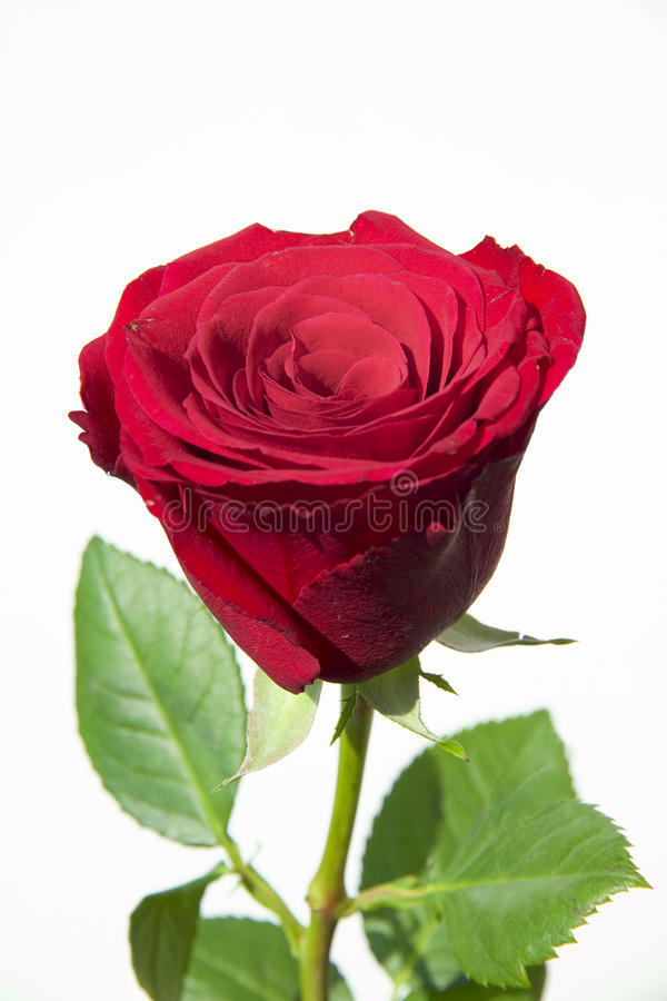 Wedding rose royalty free stock photos