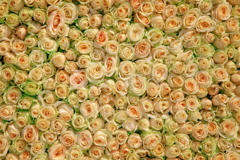 Wedding roses. A bed of wedding roses royalty free stock photos