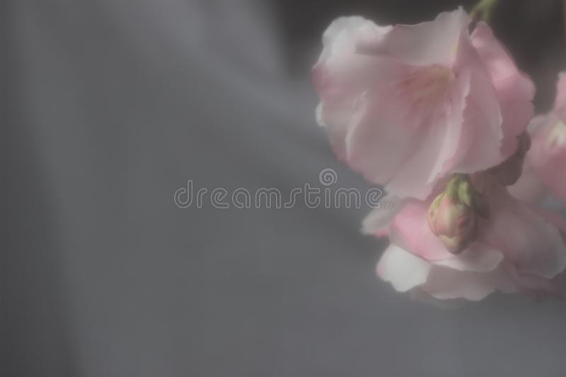 Wedding, Shower, or Sympathy Border with Oleander Blossom. This wedding, shower, or sympathy border shows a muted pink oleander blossom royalty free stock photography