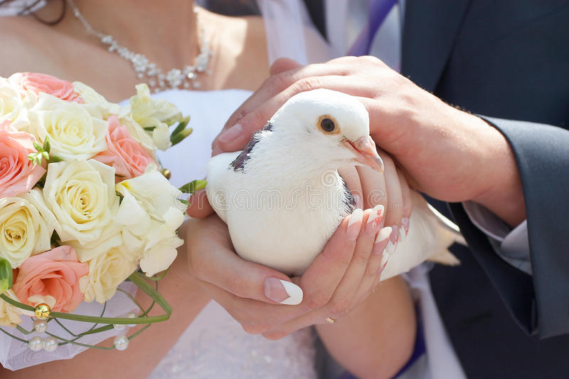 Wedding white pigeon royalty free stock photo