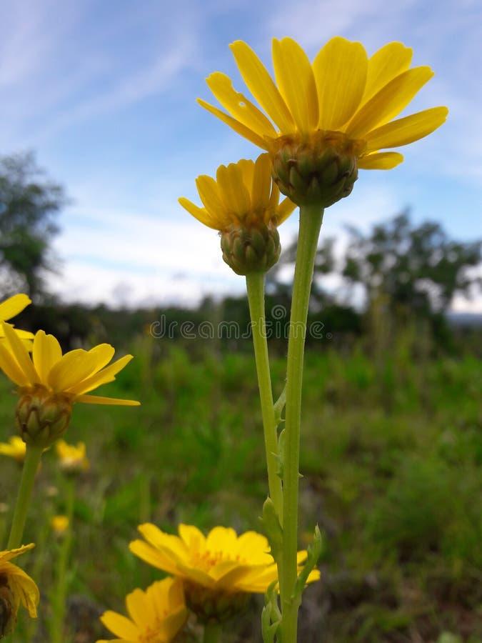 Wedelia solblomma royaltyfria foton