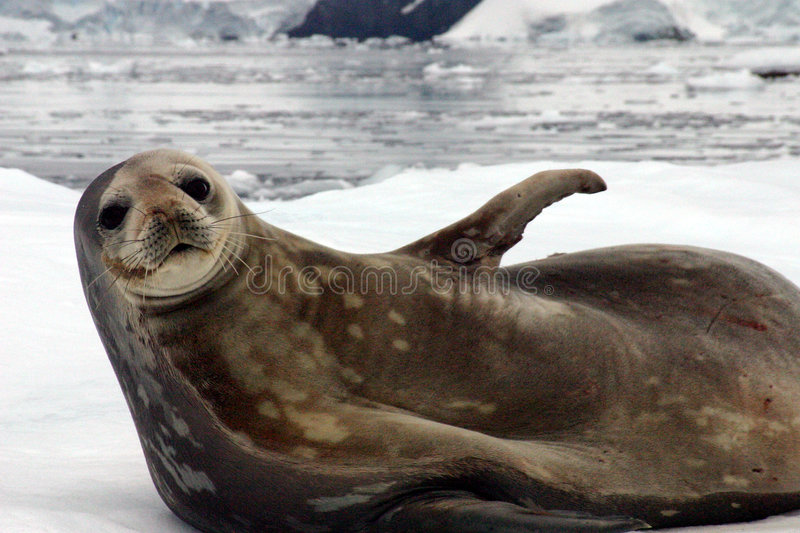 Wedell seal royalty free stock image