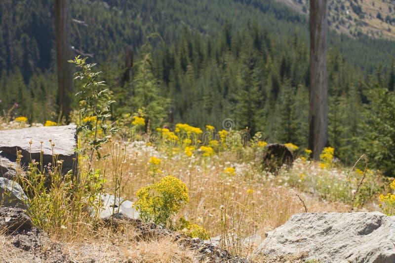 Wedergeboorte van een Bos: Zet St. Helens Nationaal Monument op royalty-vrije stock afbeelding