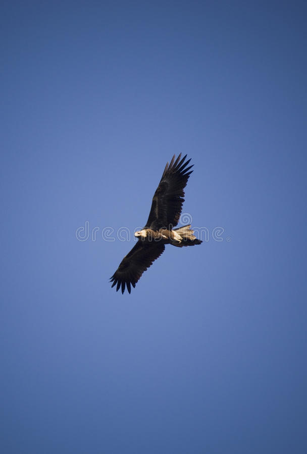 Wedge-tail Eagle royalty free stock photography