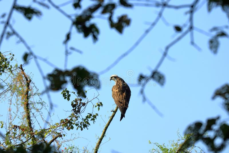 Wedge tailed Eagle, bird of prey perching on a tree looking for prey in Nepal. Wedge tailed Eagle, bird of prey perching on a tree looking for prey, Nepal royalty free stock images