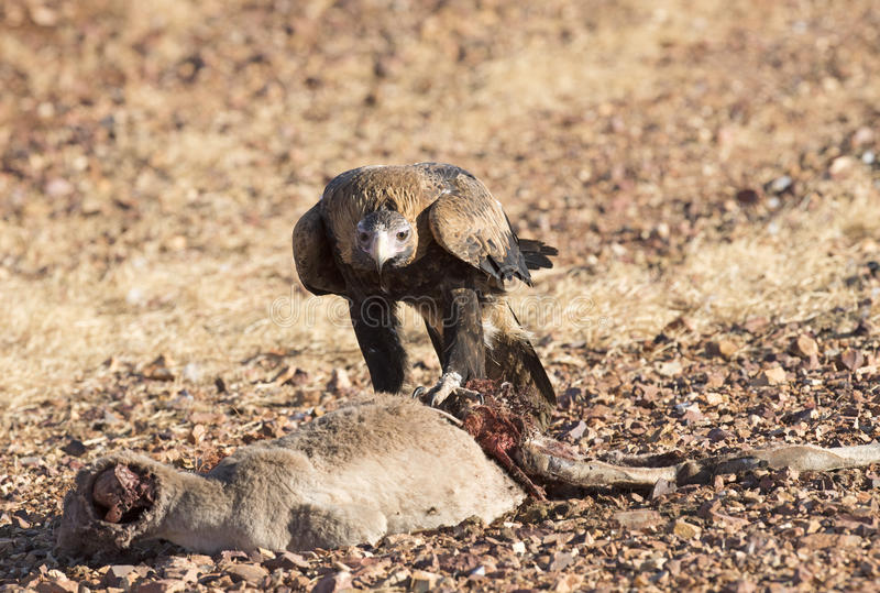 Wedge tailed eagle royalty free stock photo