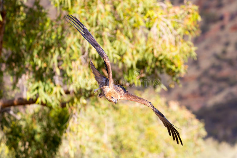 Wedge-Tailed Eagle in Flight stock images