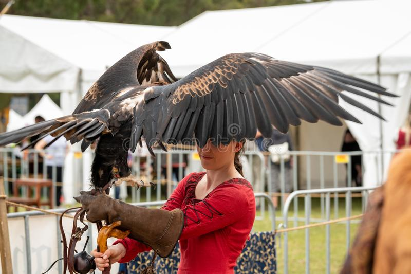 Wedge tailed eagle with wings spread, standing on gloved hand of female trainer / handler in red dress, getting ready for flight. St Ives, Sydney, Australia royalty free stock image