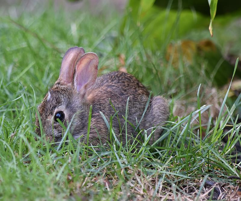 Wee Bunny stock photography