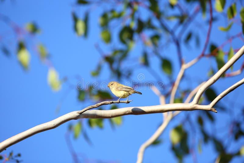 Weebill. (Smicrornis brevirostris) in Australia stock photos