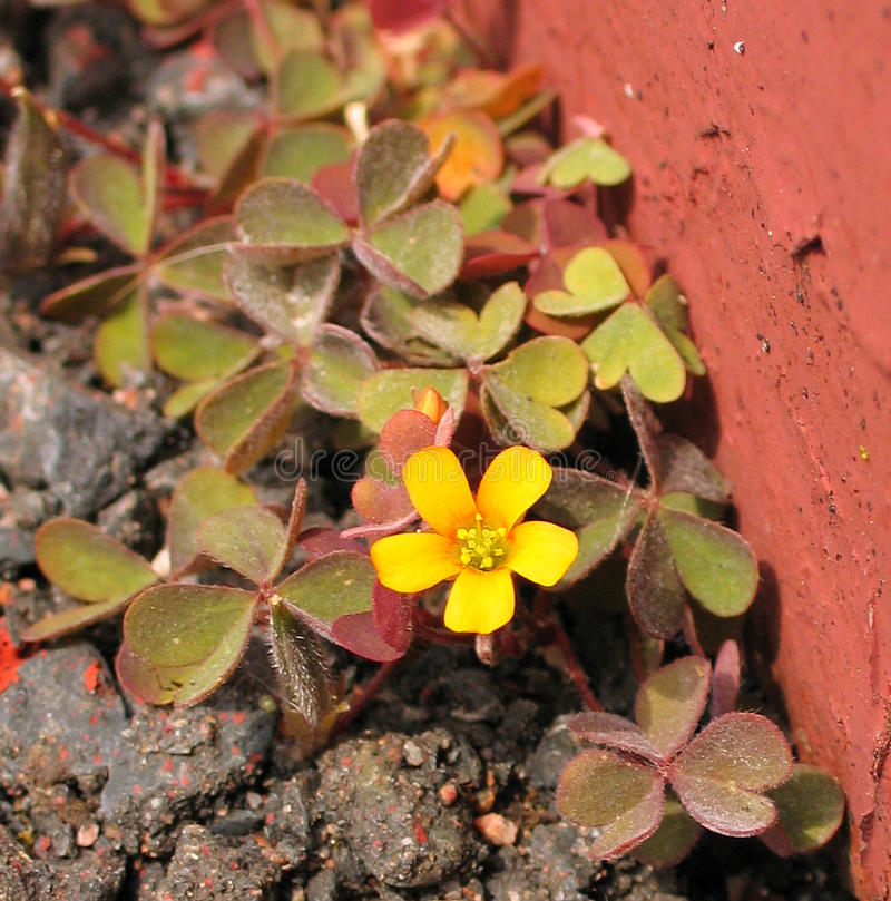 A Weed By Any Other Name. Creeping Woodsorrel (Oxalis corniculata var. atropurpurea), the creeping woodsorrel, also called procumbent yellow-sorrel or sleeping royalty free stock image
