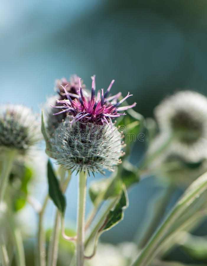 Weed flowers. Thistle flowers in a sunny day on an indistinct background stock images