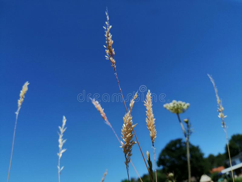 Weed in front of a deep blue sky stock photo