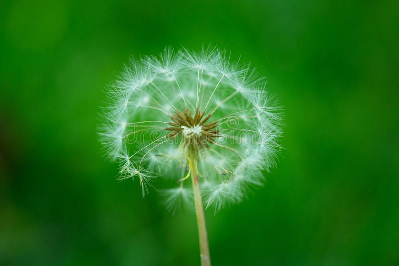 Great bokeh effect and Dandelion. Weed growing up in the lawn. Dandelion royalty free stock images