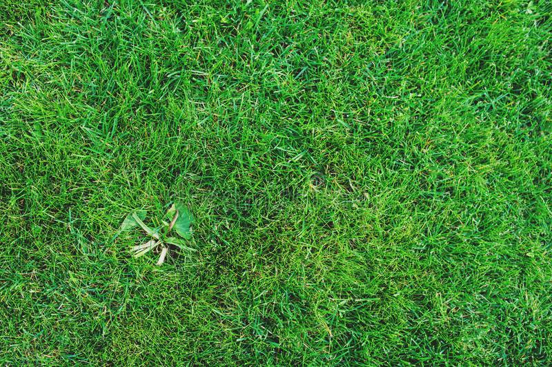 weed on lawn. Removing weeds from garden concept, royalty free stock photo