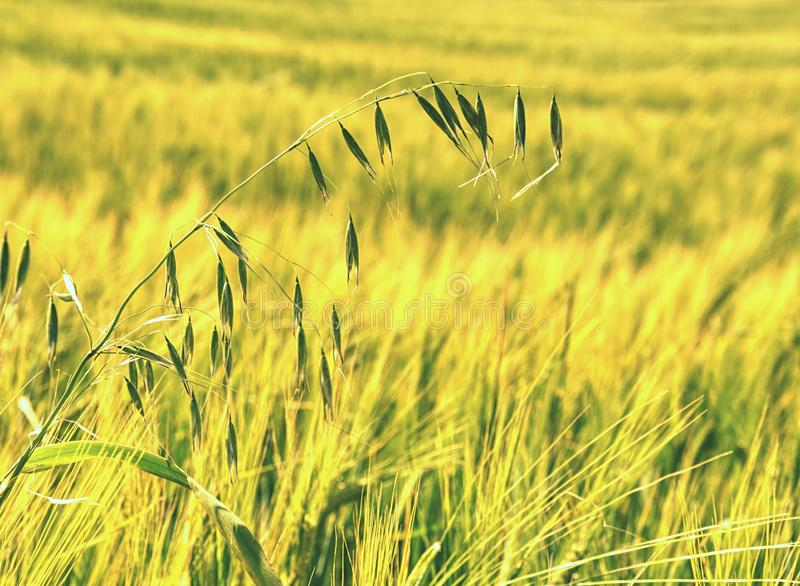 Weed, stalk of oats in rye or barley field. Green spikelets of oats. In the field, raw grains of seed oats, young, yellow, work, wheat, summer, straw, spring royalty free stock photo