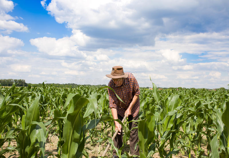 Weeding corn field with hoe. Old man with a hoe weeding in the corn field stock images