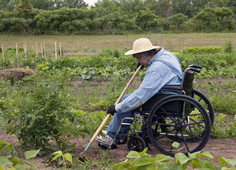 Weeding the garden. Physically challenged man in a wheelchair weeding his garden stock image