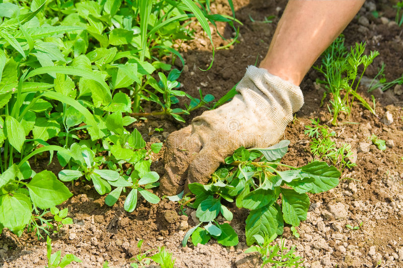 Weeding garden. Human hand weeding garden and taking care for plants stock photography