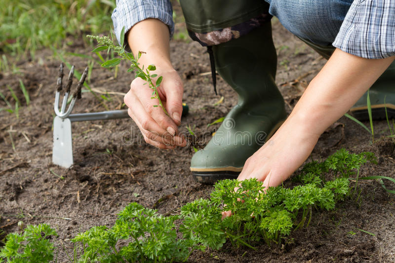 Weeding of parsley bed. Woman hands weeding parsley bed royalty free stock photo