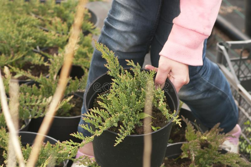 Weeding weeds in the nursery of coniferous plants, a woman in garden gloves working in the garden royalty free stock images