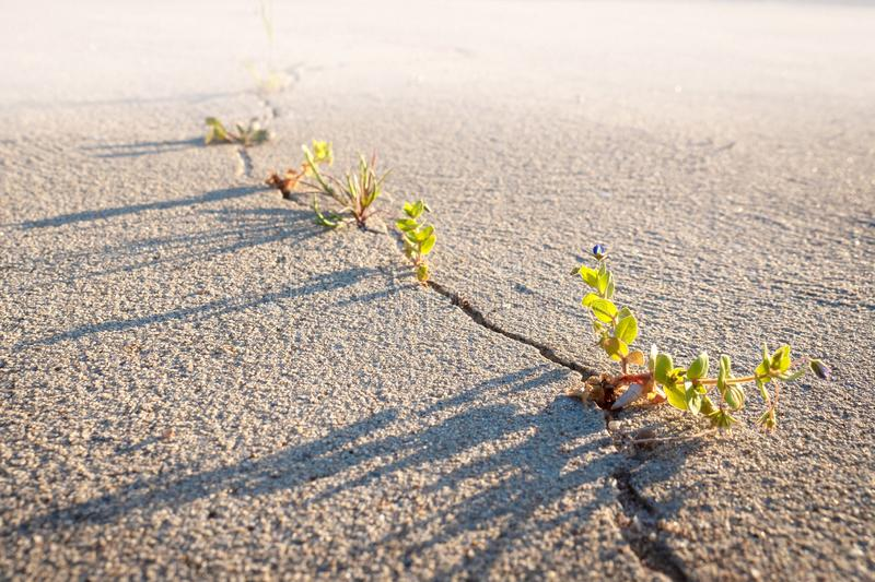 Weeds growing through crack in the dry sand stock images