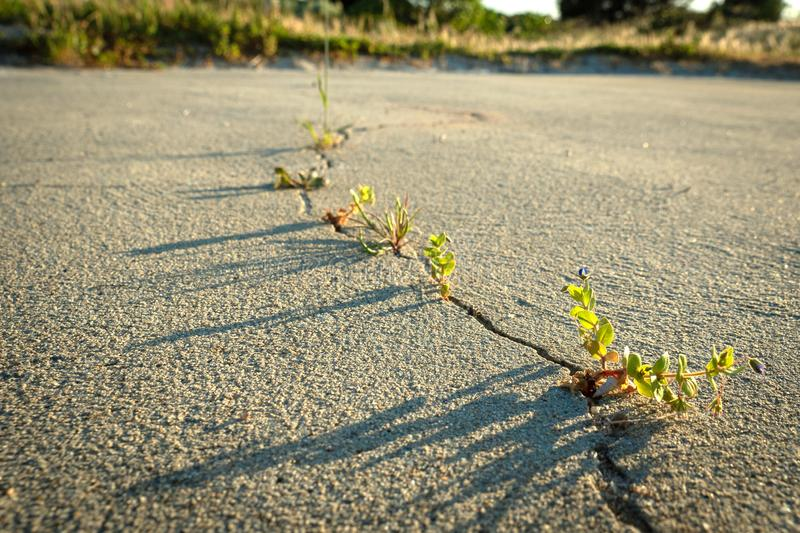 Weeds growing through crack in the sand. Crack in dry sand surface with weeds growing, beautiful late afternoon light royalty free stock photos