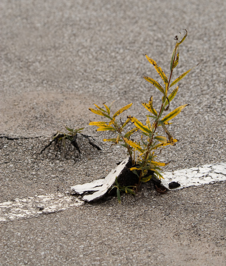 Free Weeds In Asphalt Royalty Free Stock Photo - 7800055