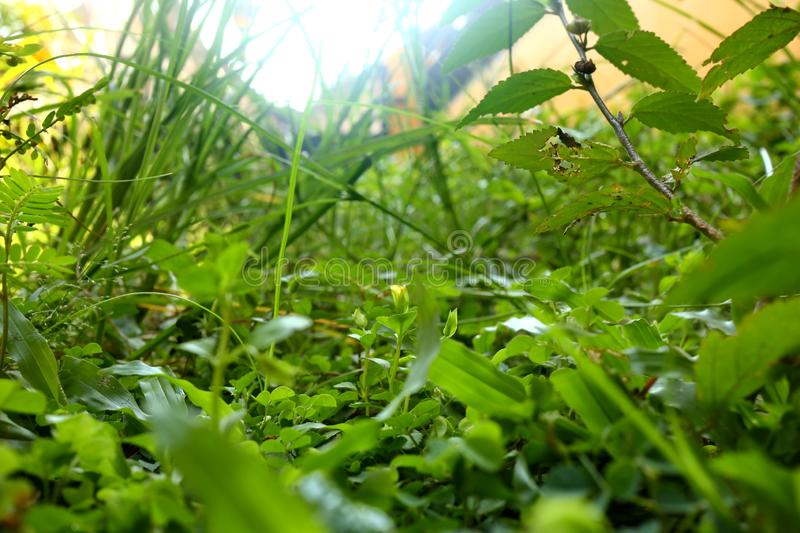 Weeds on the lawn, photographed with focus selection royalty free stock photo