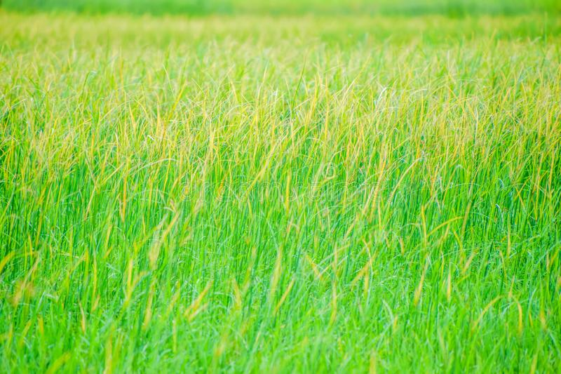 Weeds in rice fields, Yellow grass in green rice fields, The rice plant covered with weeds, The beauty of the yellow grass in the. Evening at countryside stock photos