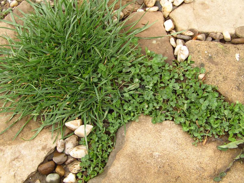 Weeds between stones and rocks on the path.Closeup royalty free stock photo