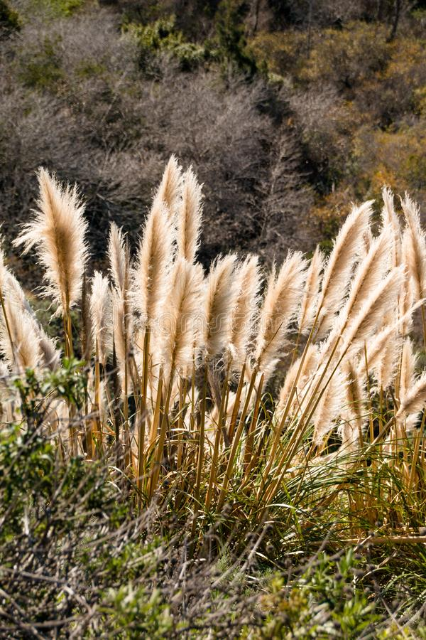 Free Weedy Pampas Grass At The Big Sur Coast, Los Padres National Fo Stock Photo - 86013210