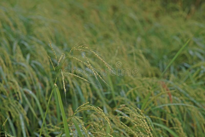 Weedy rice infestation to rice production field. It`s serious competition to rice stock photos