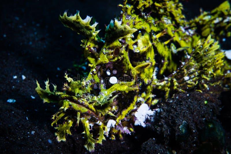 Bizarre Weedy Scorpionfish, Rhinopias frondosa in Indonesia royalty free stock image