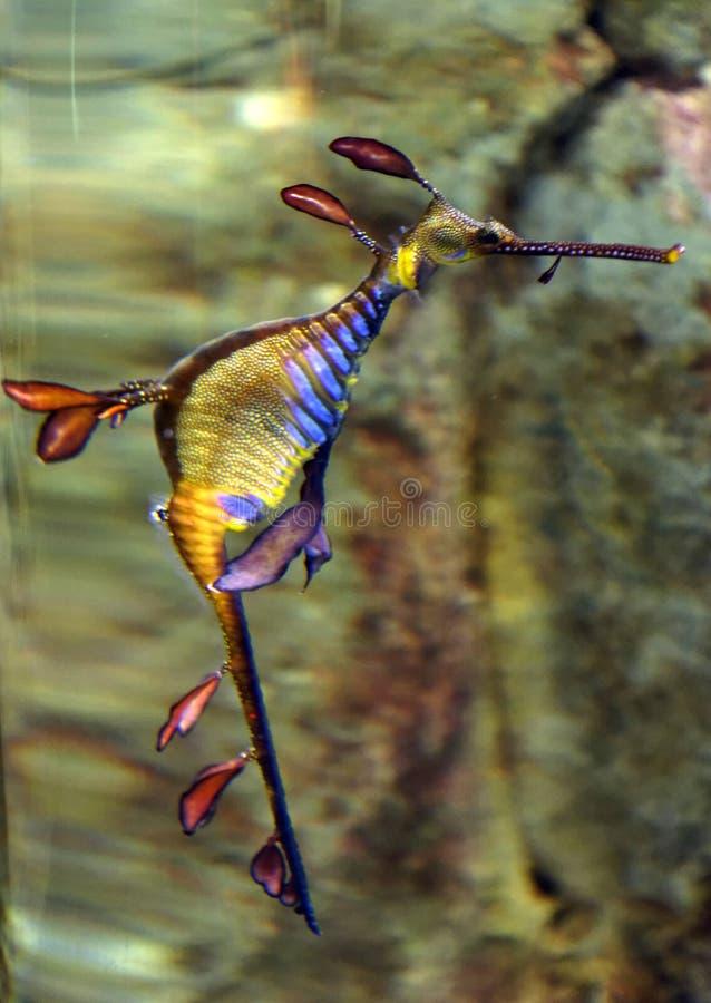 Weedy seadragon arkivbilder
