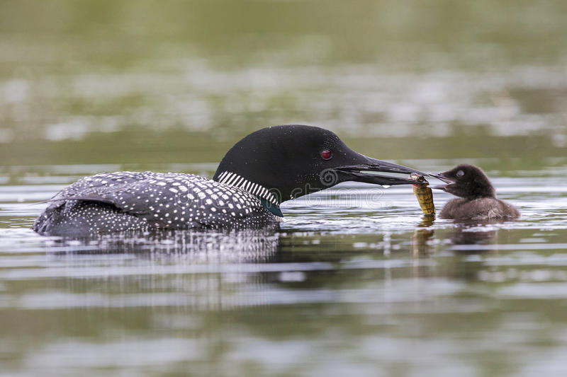 A week-old Common Loon chick is fed a fish by one of its parents royalty free stock image
