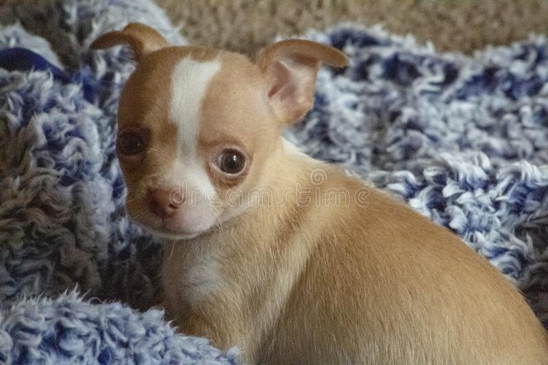 8 week old male chihuahua puppy gray background blue blanket stock photos