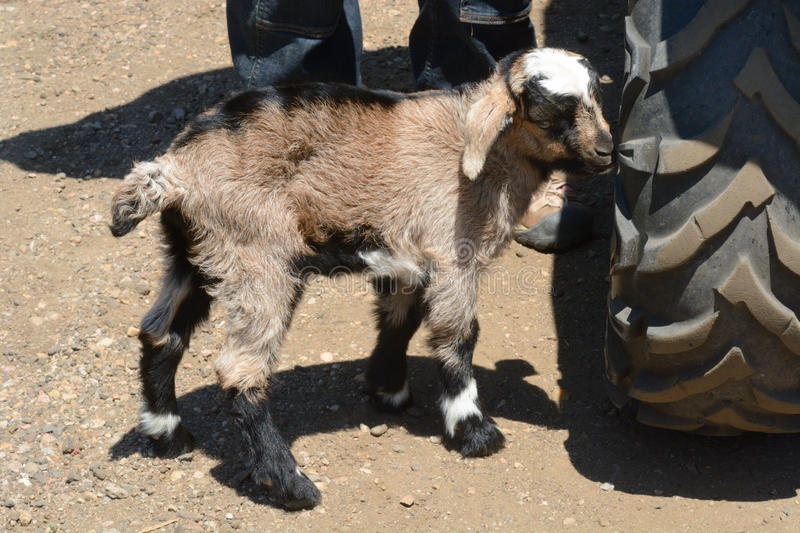 On week old newborn kiko goatkid stock photo
