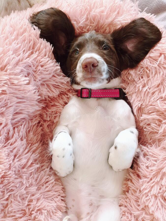 9 week old pup puppy pet dog with big funny ears stock image