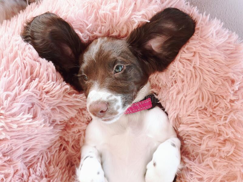 9 week old pup puppy pet dog with big funny ears royalty free stock image