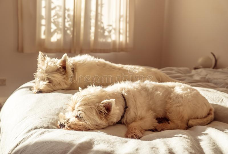 Weekend sleep in for two lazy west highland white terrier westie dogs on bed in bedroom royalty free stock photography
