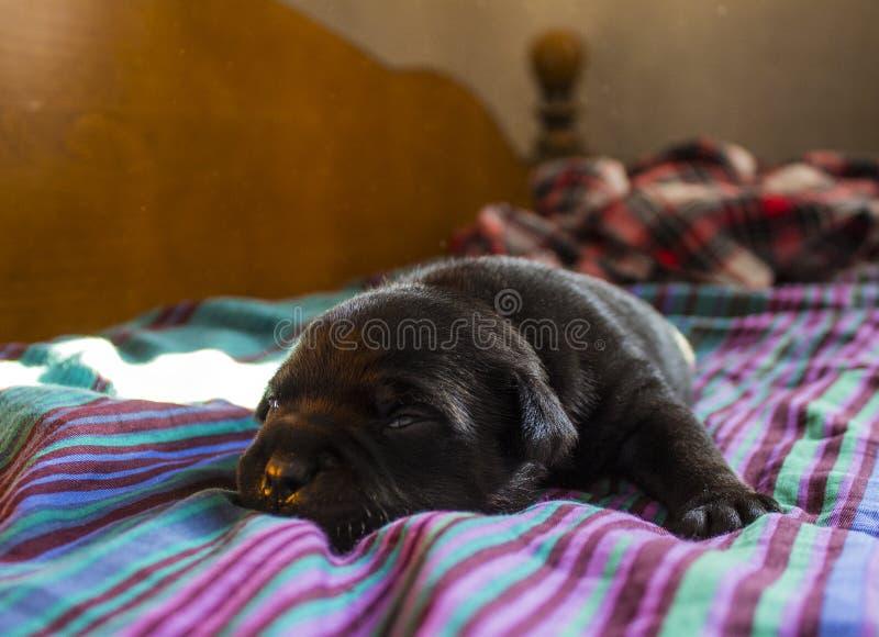 3 weeks old Staffie puppy stock image